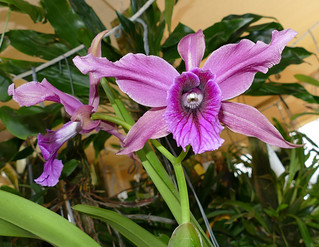 Cattleya Pacavia 'Nolehace' primary hybrid orchid & 1st bloom seedling  7-17* | by nolehace
