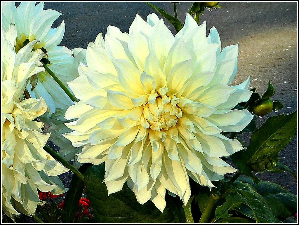 Beautiful Dahlia Flower ..