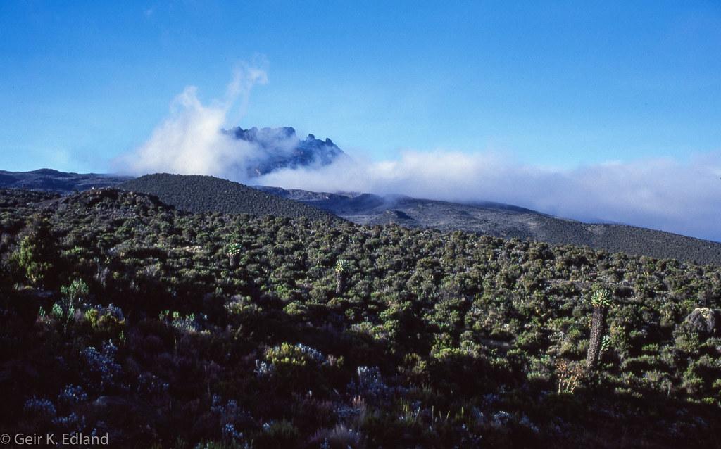 Senecio kilimanjari
