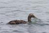 female common Eider duck (Somateria mollissima) by Ron Winkler nature