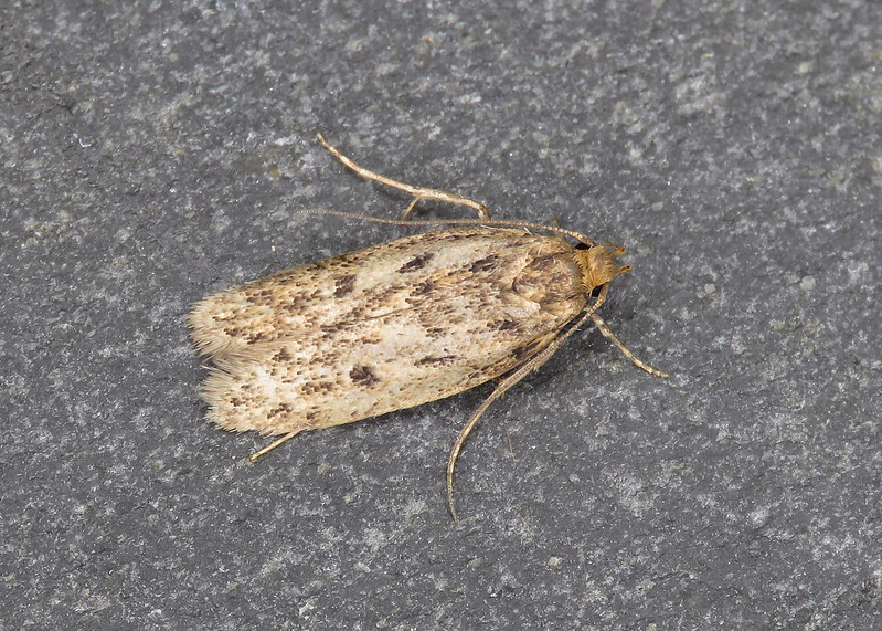 28.010 Brown House-moth - Hofmannophila pseudospretella