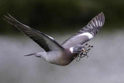 Pigeon | by PINNACLE PHOTO