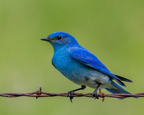 mountainbluebird bluebird sialiacurrucoides sialia turdidae thrush nigelje wagonwheelroad anarchistmountain