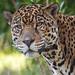 Lucha the Jaguar. by LisaDiazPhotos