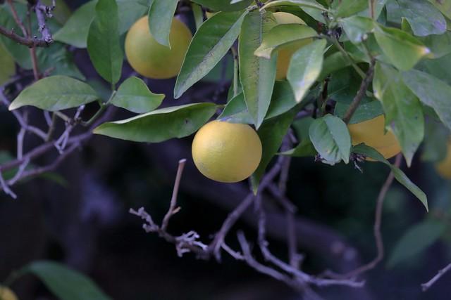 Mandarinen in Sòller