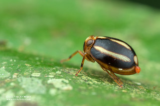 Pill-like planthopper (Hemisphaerius sp.) - DSC_9590