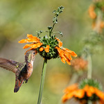 Hummingbird Sipping Leonotis Nectar