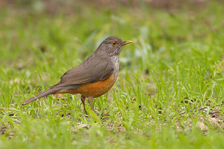Zorzal Colorado - Turdus rufiventris - Rufous-bellied Thrush | by Jorge Schlemmer