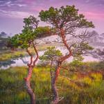 Kemeri bog trees