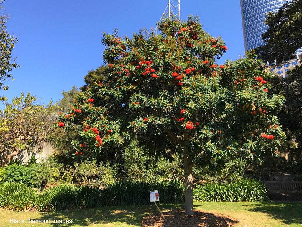 Alloxylon Flammeum Australian Tree Waratah 169 All