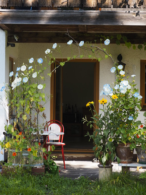 © Summer Garden Flower Ipomoea – Prunkwinde Trichterwinde Spalier Blume Garten Sommer