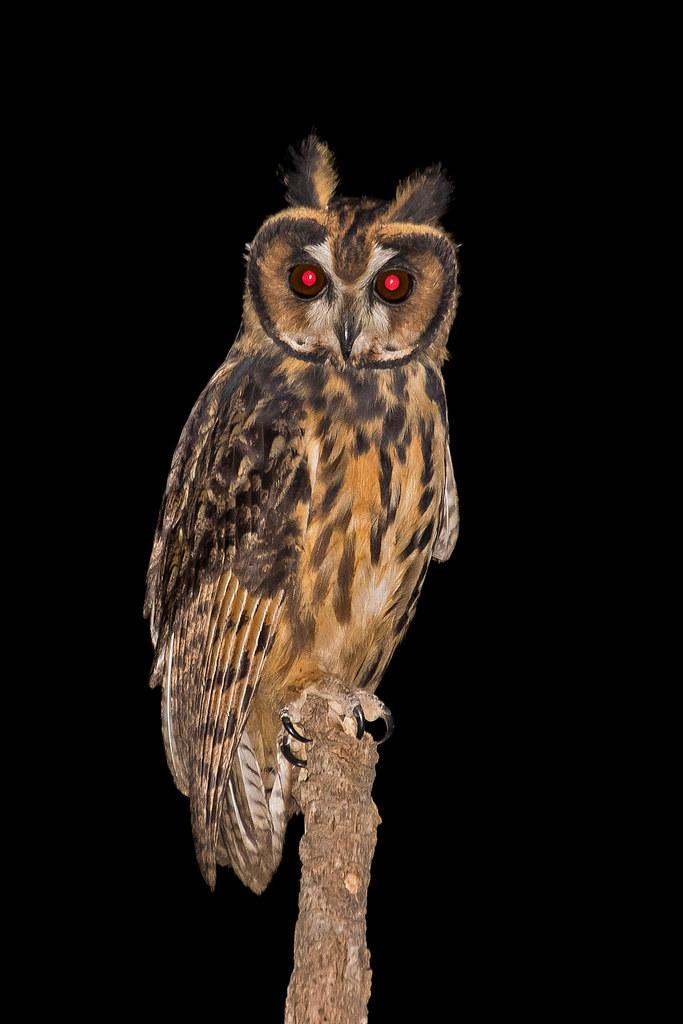 Striped Owl (Asio clamator)
