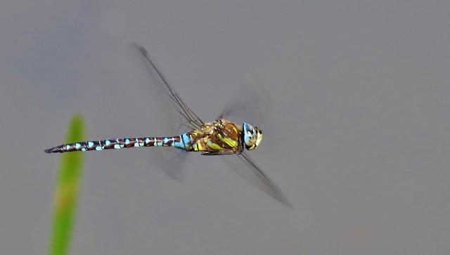 Hawker Dragonfly in flight (explored)