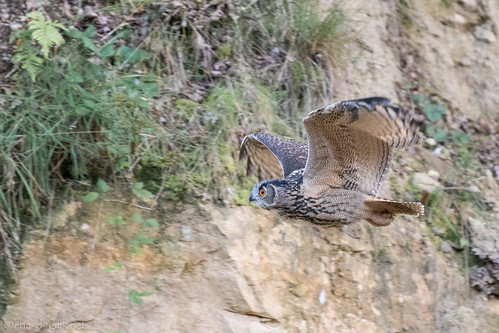Eagle Owl in Flight | by eric-d at gmx.net