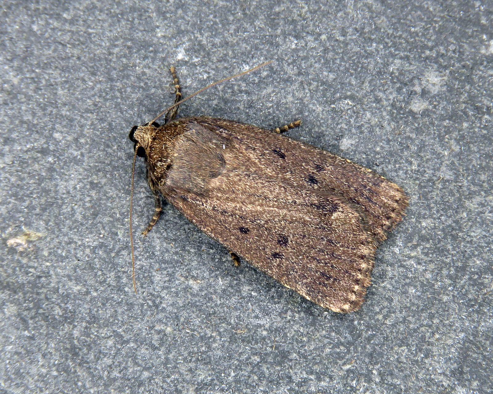 73.064 Mouse Moth - Amphipyra tragopoginis