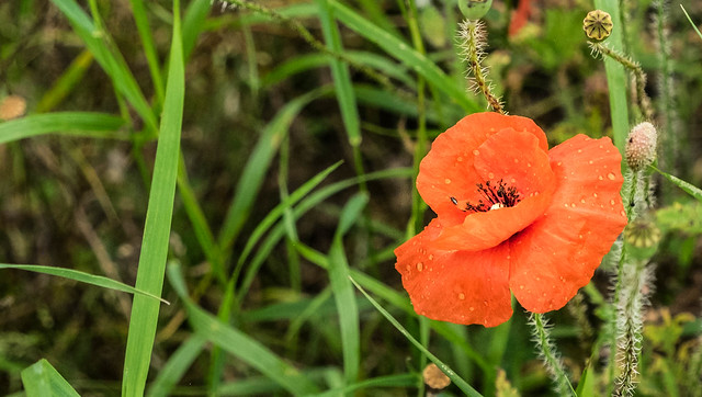 Poppy close to the excavation of Borgring - Køge, Denmark