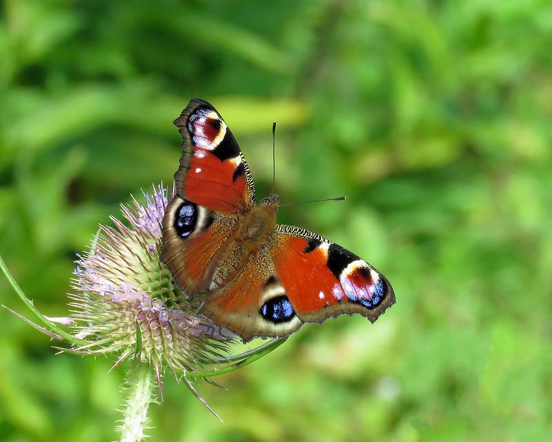 Peacock - Aglais io