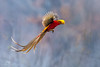 Golden pheasant (Chrysolophus pictus) ♂  红腹锦鸡 hóng fù jǐn jī by China (Jiangsu Taizhou)
