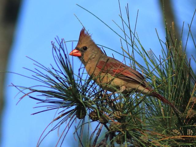 Northern Cardinal female 20170904