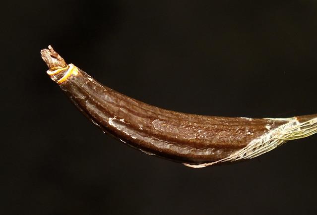 Deviating orchid (Dendrobium aberrans) pseudobulb