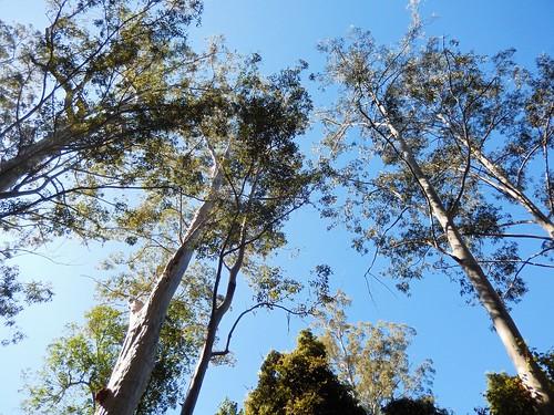 sydneybluegum bluegum eucalyptus eucalyptussaligna talltrees talltree tirrellcreek bulgaforest oldgrowthforest midnorthcoast tirrillcreekflorareserve australiasbiggesttrees