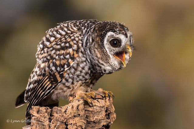 Chaco Owl - Happy Chappie D75_5996.jpg