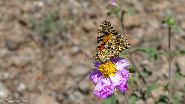Vanessa cardui - Diken Kelebeği - Nymphalidae
