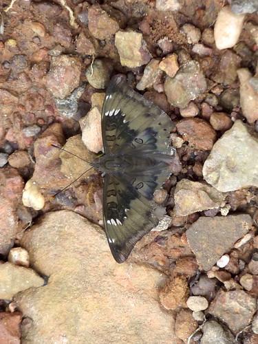 ขอนแก่น สวนสัตว์ animals butterflies butterfly esarn insects isaan khonkaen lepidoptera thailand zoo