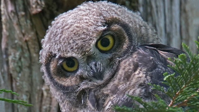 Great Horned Owlet mimicry of Mr Bean