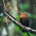 Ovenbirds and Woodcreepers - Furnariidae
