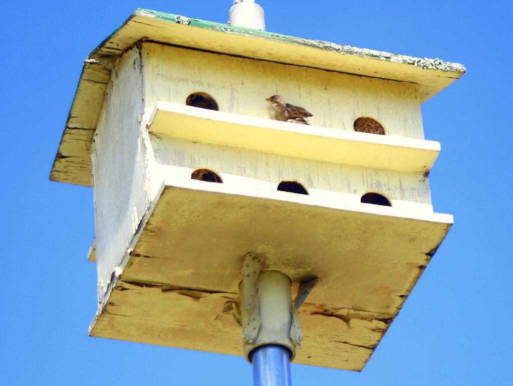 Tenement Sparrow