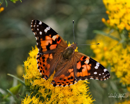 Painted Lady Butterfly | by dcstep