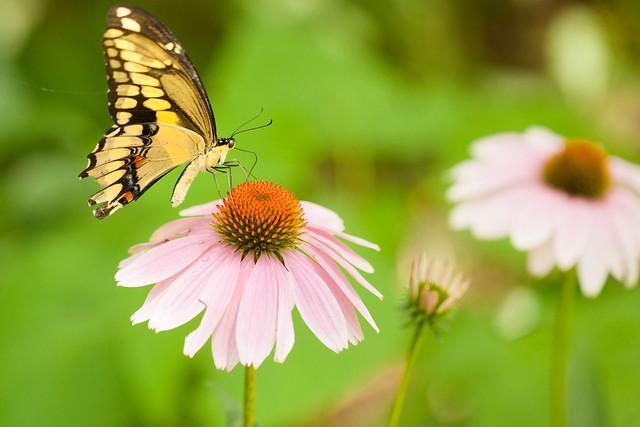 Eastern Tiger Swallowtail #2
