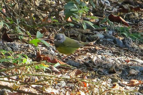 bird geothlypisphiladelphia