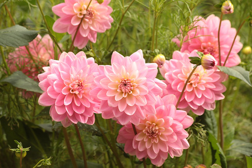 Pink Dahlias | by Henry Hemming
