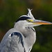 Grey Heron - Photo (c) Corine Bliek, some rights reserved (CC BY-NC)
