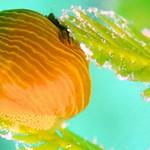 キヌハダウミウシ1種-3。こちらも卵産み産み