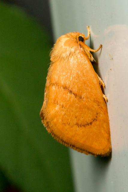 Red-eyed Button Slug - Heterogenea shurtleffi