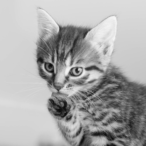 Kitten licking her paw | by Photocritic.org
