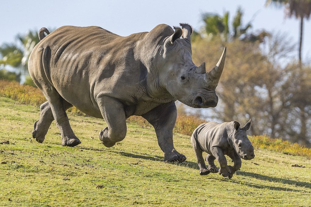Rhino mother and calf frolicking in San Diego Zoo | A female… | Flickr