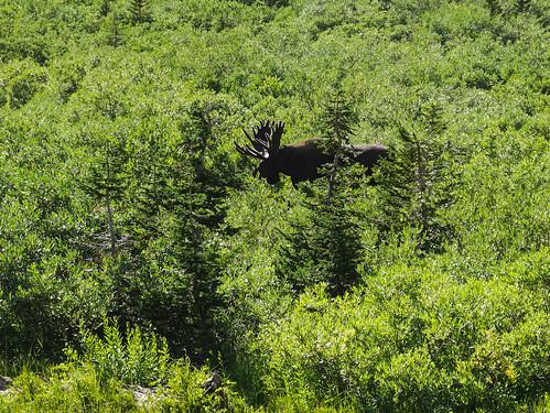 Bull moose! | by snackronym