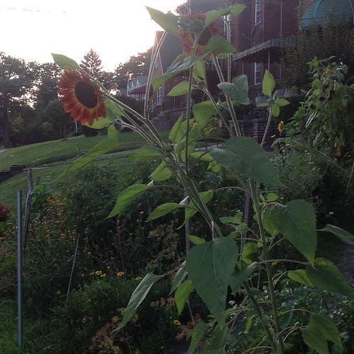 sunflower volunteer sunset dropdeadred botanicalinterests
