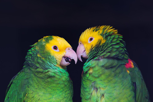 Two colorful parrots in friendly talk, Amazona ochrocephala oratrix | by prague.czech.photo
