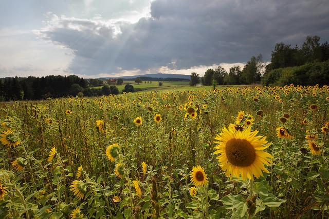 krajina se slunečnicemi - in explore
