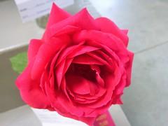 RED ROSE-  OOPS - A DUPLICATE BELOW !!