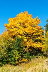 Tree at the CL Graham Wangan Overlook, Kancamagus Hwy, NH