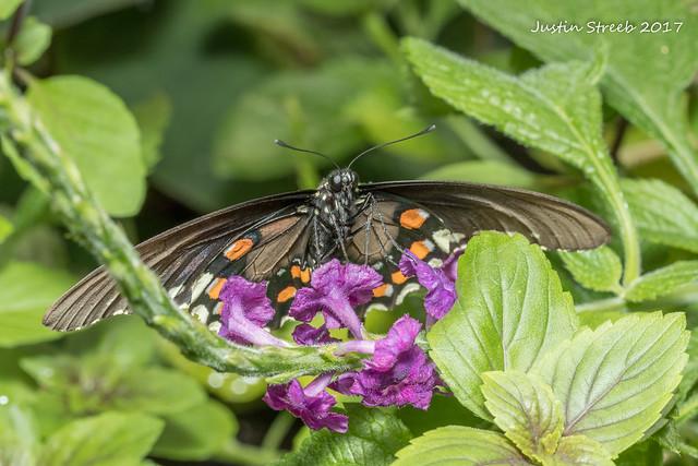 Brookside Butterfly 4 '17