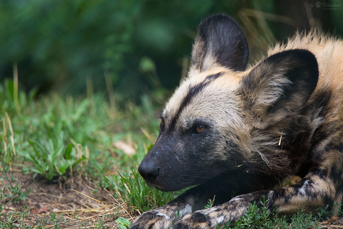 African painted dog | by Cloudtail the Snow Leopard