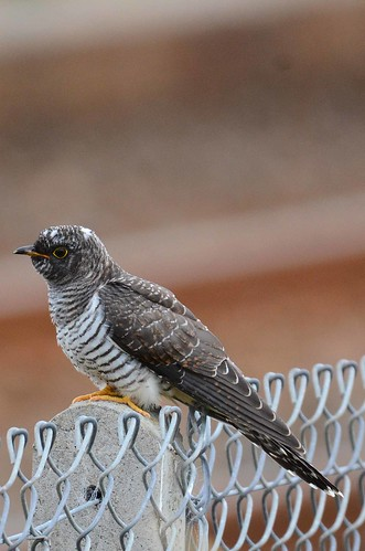 Cuckoo (Cuculus canorus) juvenile | by Brian Carruthers-Dublin-Eire