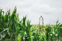 Parmi le maïs